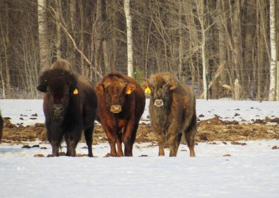 100% bison cow, 3/8 bison bull, bison hybrid cow