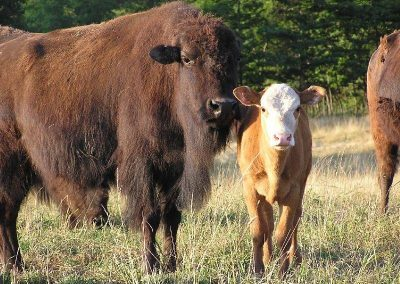 super_bison_calf_pic1