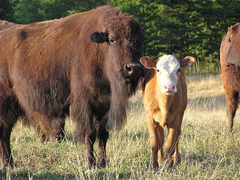 1/2 bison cow with 1st generation fullblood beefalo calf (37.5% bison)